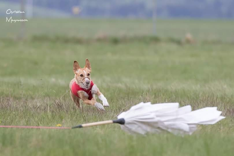 Enya at full speed on the Lure Coursing field